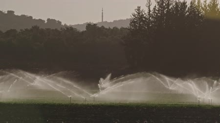 fértil : Slow motion of many impact sprinklers irrigating a field during sunset