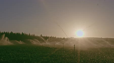 fértil : Wide view of many impact sprinklers irrigating a field during sunset