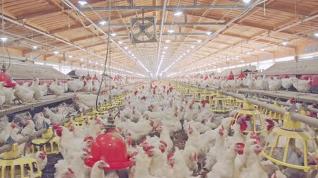 петух : Large chicken farm with thousends of hens and roosters