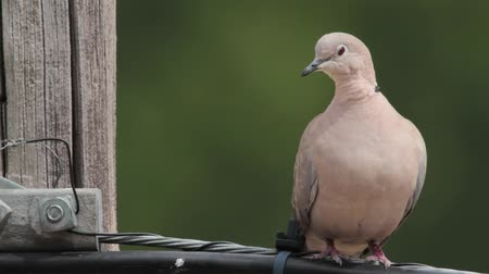 collared : Eurasian Collared Dove