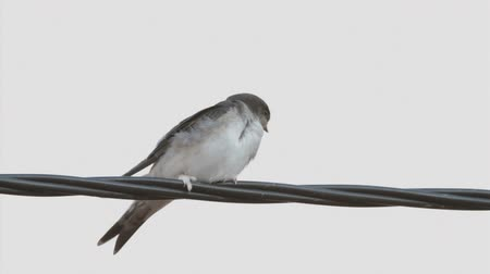 kable : Young House Martin perched on a wire on white background