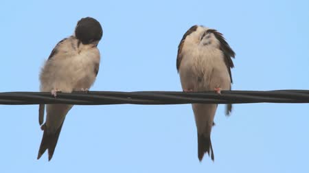 urban birds : Pair of adult House Martin perched on a wire