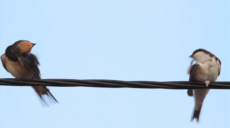 kable : House Martin and Barn Swallow perched on a wire