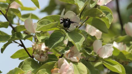 xylocopa violacea : Violet Carpenter bee feeding on flowers