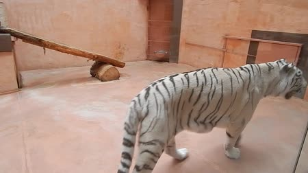 White large tiger walks through the aviary