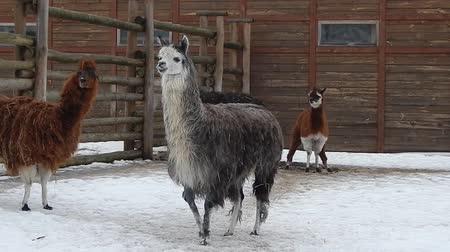 enclosure : Llamas in the aviary on the farm