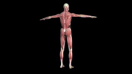 мышечный : Human anatomy. The anatomical model of a human is rotated around its axis on black background.