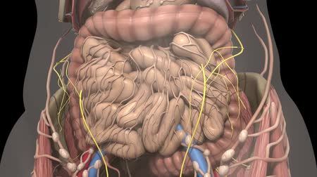 interno : Human anatomy. Movement guts inside the abdomen Vídeos