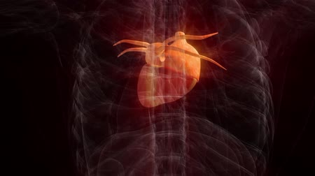 мышцы : Human anatomy. Heart on a dark background. loop