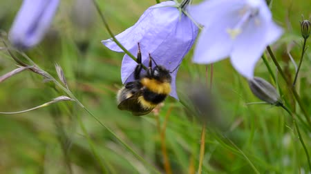 darázs : Bumblebee on a bluebell bellflower in summertime