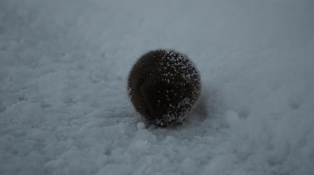 cold : small forest mouse trying to keep warm in sub zero temperature Stock Footage