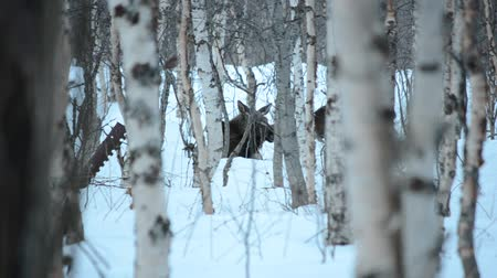forest animals : Beautiful wild moose in snowy winter birch tree forest Stock Footage