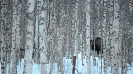 savci : Beautiful wild moose in snowy winter birch tree forest Dostupné videozáznamy