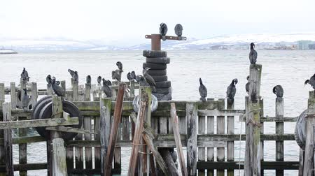 spící : Big cormorant birds standing on wooden pier in fjord as the storm ole in starting to roll in over tromsoe Dostupné videozáznamy