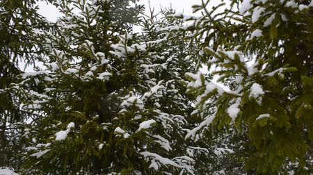 ladin : heavy snowfall over spruce tree forest in early spring