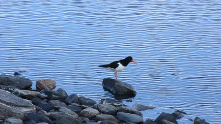 waders : oystercatcher bird sitting beside blue fjord on rock singing