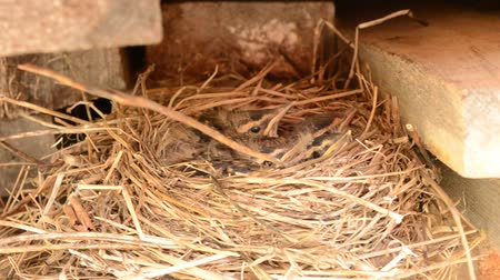 young sparrow : baby sparrow birds in straw nest in early summer months in northern norway Stock Footage
