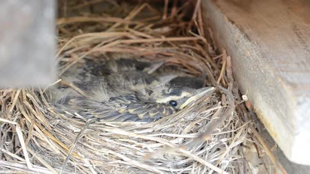 fészek : baby sparrow birds in straw nest in early summer months in northern norway Stock mozgókép