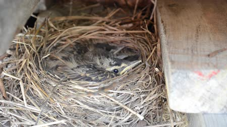 young sparrow : beautiful baby sparrow birds resting and cuddling in straw nest in early summer