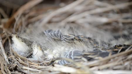 fészek : beautiful baby sparrow birds resting and cuddling in straw nest in early summer