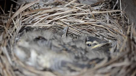 young sparrow : baby sparrow birds in nest in early summer beauty macro video Stock Footage