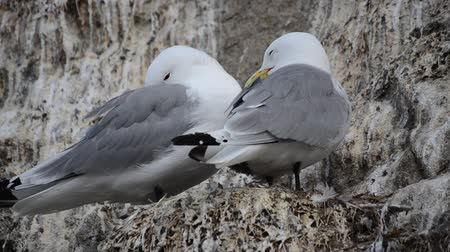 kittiwake : black-legged kittiwake sea birds nesting in cliffside in summer Stock Footage