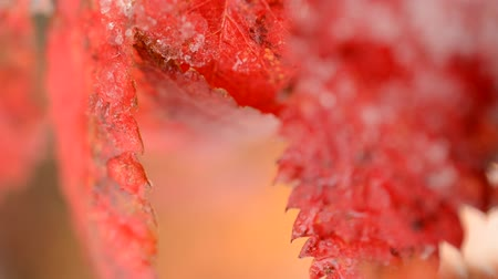 üvez ağacı : red vibrant rowan tree leaf with snow in autumn macro video Stok Video