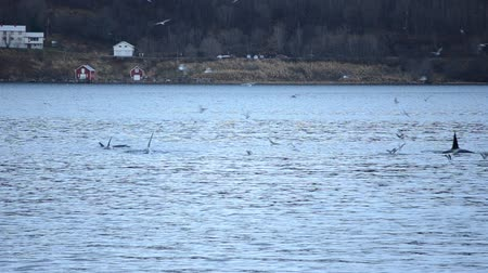 killer whale : beautiful killer whales, orca, feeding amongst seagulls in blue fjord water in northern norway