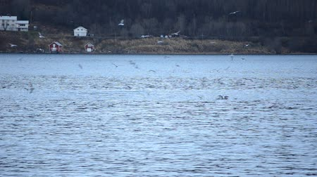 wieloryb : beautiful killer whales, orca, feeding amongst seagulls in blue fjord water in northern norway