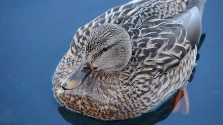 duck : beautiful female mallard duck swimming in cold harbor sea water in wintertime
