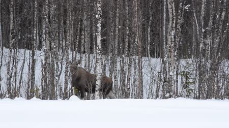 mother cow : feeding moose in birch winter forest Stock Footage