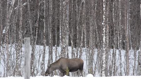 mother cow : moose mother feeding and walking
