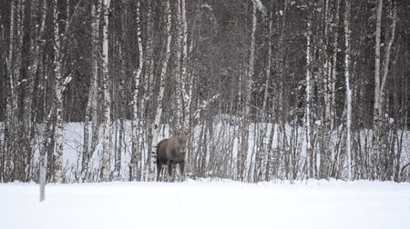 mother cow : moose mother and calf in winter landscape Stock Footage