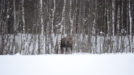 mother cow : standing moose mother with calf behind Stock Footage