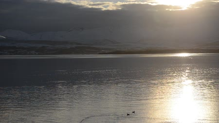 arctic bird : golden sunset reflection on fjord surface with birds swimming Stock Footage