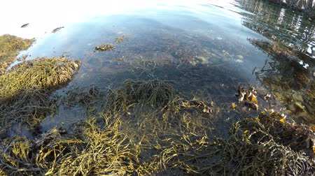 knotted : brown floating seaweed in cold fjord water with sunshine reflective surface background