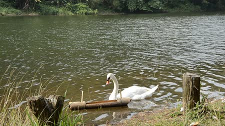 animais : White swan in the lagoon. Stock Footage