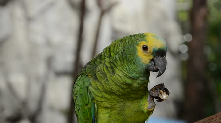 ara papagáj : Green and yellow parrot with his favorite peanut.