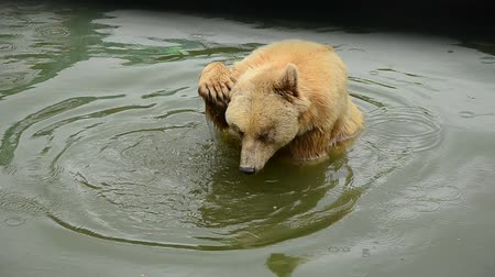 полярный : Curious bear in the pool. Стоковые видеозаписи