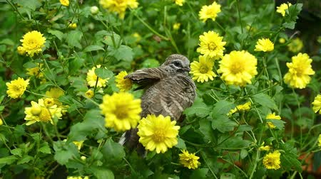 chrysanthemum : Happy Geopelia striata playing in Chrysanthemum bush. Stock Footage