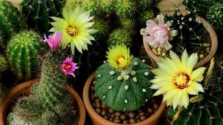 instabil : Movement of cactus flowers during day time with unstable sunlight, time lapse motion. Stock mozgókép