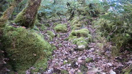 pireneusok : moss on tree trunks in pyrenean forest