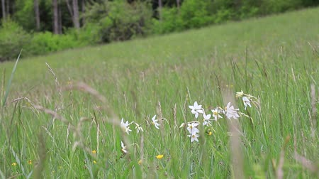 narcyz : Background of poets narcissus or nargis or findern flower or pinkster lily  in spring meadow, Narcissus poeticus