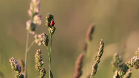 чешуекрылых : seven-spot ladybird on grass Стоковые видеозаписи