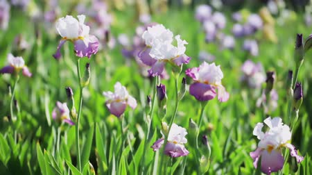 row : Different colors of iris in blooming garden in early June.