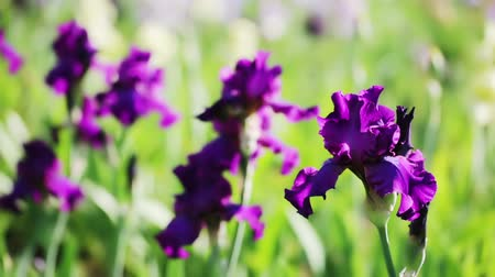 sorok : Different colors of iris in blooming garden in early June.