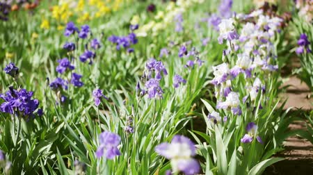 irys : Different colors of iris in blooming garden in early June.