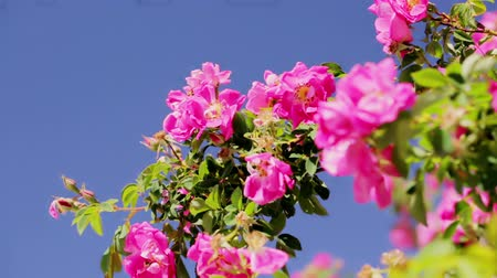 perene : Blooming flowers in the garden in early summer. Stock Footage
