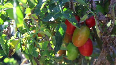 comestíveis : Late summer in organic community vegetable garden. Stock Footage