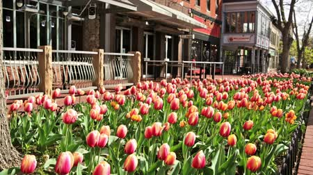 karpatské : Denver, Colorado, USA-April 10, 2015. Pearl Street Mall during tulip bloom in early Spring. Dostupné videozáznamy